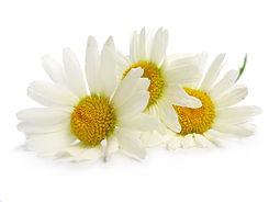 Chamomile - Chamomilla Recutita (Matricaria) Flower