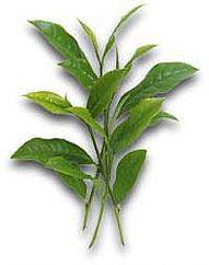 Tea Plant - Camellia Sinensis Leaf Extract